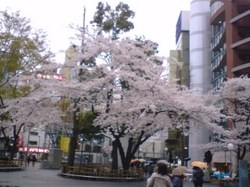 Ikebukuro_sakura