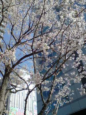 Akiba_cherry