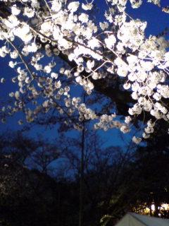 靖国神社夜桜能