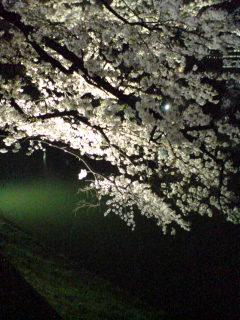 千鳥ヶ淵の夜桜ライトアップを見る