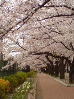 府中の桜とキュートなワンコ。