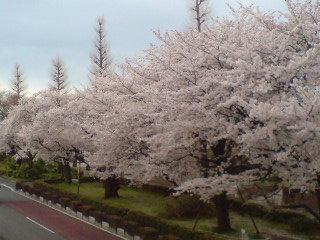 国立の桜。
