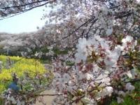 Sakura_20200409182301
